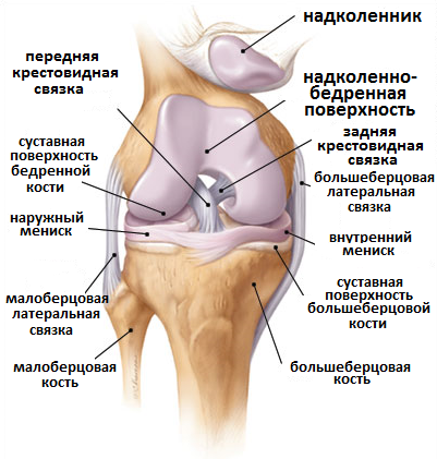 анатомия коленного сустава